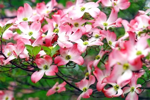 ハナミズキ/Cornus florida by nobuflickr