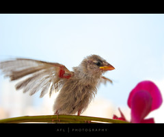 the sparrow has found a home (alvin lamucho ) Tags: canon fly flying young sparrow kuwait thin balancing minimalist wildorchid plainbackground 450d mywinners rebelxsi alvinlamucho