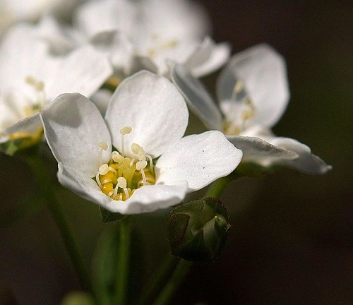 Hegg - Prunus padus