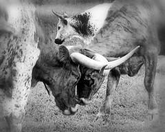 Boys Will Be Boys (! ~ Pawpaw Sn☺wman ~ ! Away.) Tags: blackandwhite bw black nature boys animal wonderful blackwhite funny texas cattle sony horns bull longhorn horn livestock a100 sonya100