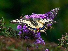 macaone  - papilio machaon (perplesso42) Tags: flowers butterflies fiori 1001nights farfalle naturesfinest papiliomachaon otw macaone mywinners specinsect wonderfulword rubyphotographer 100commentgroup vosplusbellesphotos paololivornosfriends lesamisdupetitprince dragonsdanger virgiliocompany
