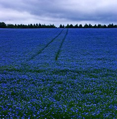 Blue mood in the fields. (algo) Tags: trees england photography topf50 bravo chilterns topv222 fields algo flax linseed blueribbonwinner flaxs