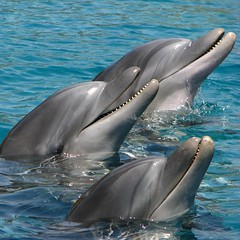 Three smiling dolphins (Gaby.Bernstein) Tags: sea nature water smile smiling animal animals laughing mammal israel gaby dolphin wildlife redsea dolphins laugh trio reef mammals eilat marinemammal animalia bernstein marinemammals tursiopstruncatus tursiops cetacea delphinidae bottlenoseddolphins bottlenoseddolphin theunforgettablepictures platinumheartaward tup2 dolphinsreef goldenart bernsteingaby gabybernstein waterhabitant waterhabitants highqualityanimals