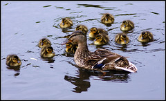 A Large Family Gathering... (Fifi 1968) Tags: female duck babies lancashire mum mallard burscough anasplatyrhynchos wwt martinmere featheryfriday thewonderfulworldofbirds shehadthirteenofthemthatswhaticallabusymum