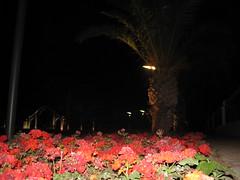 ساحة حديقة للاعائشة ليلا (Sadek Miloudi (zoe4ever)) Tags: maroc parc ورود بستان oujda المغرب ساحة ليل حديقة نخيل أزهار أضواء حمراء وجدة أقواس