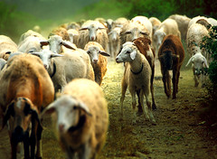 Marching Home ( DocBudie) Tags: nature animal sheep backhome gettyimages walkinghome domba flockofsheep northsumatra percut batangkuis deliserdang seituan