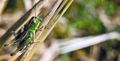 Junger Hpfer, noch ganz grn hinter den Ohren (Paula's little world) Tags: natur feld flip grn makro insekt noch wegrand junger farbfoto digitalcameraclub hpfer grasshpfer ashowoff hinterdenohren