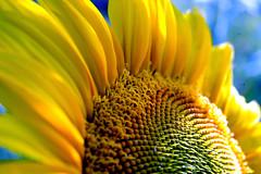 Sunflower II (oo Felix oo) Tags: summer flower color colour yellow nikon flor amarillo verano extensiontubes mywinners d700 felmar flickrestrellas tubosextension