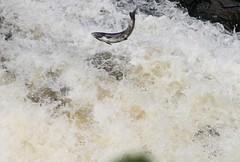 leaping salmon, Falls of Shin (garlies) Tags: scottish wildlife creatures beasties sutherland fish water waterfall falls shin salmon leap jump foam spray