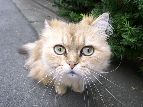 妖怪みたいな猫