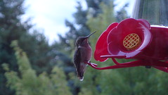 Tired Hummingbird (3)