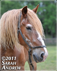 Mack at Helping Hearts Equine Rescue (Rock and Racehorses) Tags: rescue senior hearts nj belgian helping draft workhorse ska6487