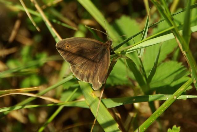 Meadow Brown 2