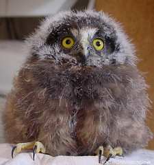 Morepork Chick (Ruru) Owl (churchmousenz) Tags: new bird forest native zealand owl maori morepork ruru novaeseelandiae ninox