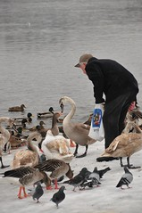 Die Ermahnung (tonal decay) Tags: schnee snow water river dresden duck swan wasser dove grandpa goose feed ente taube schwan opa elbe voda rentner füttern gänse labe blasewitz flus gewusel amblauenwunder dutyfreebeutel