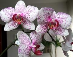 Jolly spots... (maya_dragonfly) Tags: orchid flower macro nature ilovenature flora olympus phalaenopsis botany spottedflower masterphotos goldenmix greatflowersmacro winter09 naturescreations