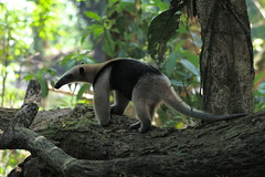 Costa Rica (joeksuey) Tags: costa mammal rica 2008 anteater tirimbina tamandua joeksuey