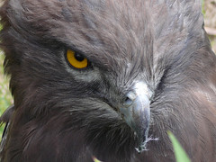 Eye of the beholder (mandragor.de) Tags: bird eye birds animal closeup close beak feathers explore prey auge nahaufnahme birdofprey tier vogel schnabel greifvogel federn explored specanimal