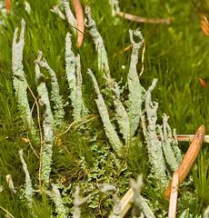 Cladonia subulata 'Antlered Powderhorn' (?) (dougwaylett) Tags: wild canada native alberta cladonia fruticoselichen brownloweryprovincialpark cladoniasubulata antleredpowderhorn