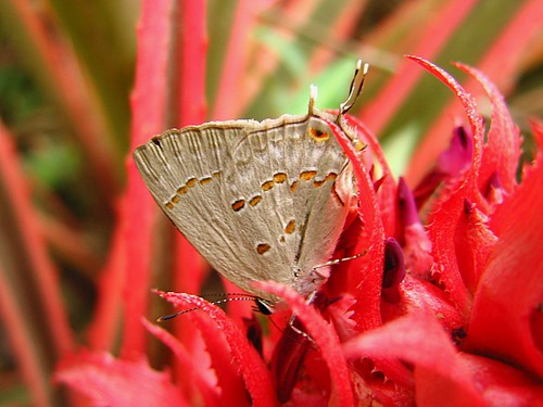 animals insects moth rose asas