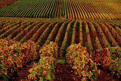 Vineyards in Hermonville (Vainsang) Tags: autumn automne nikon champagne vineyards vignoble grape vigne raisin twitter 25faves mywinners d40x champenois paololivornosfriends vignoblechampagne vignoblechampenois