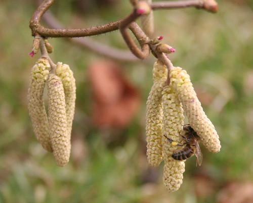 Apis Mellifera gathering pollen on Corylus avellana 'Contorta'