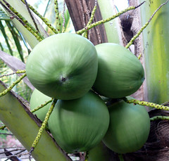 אגוזי קוקוס צעירים