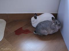 Bloody urine (RosyBunny) Tags: rabbit bunny polo 兔 bloodinurine