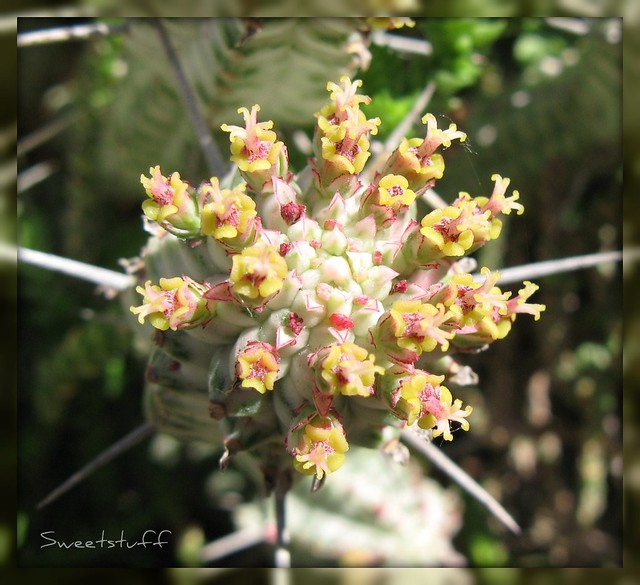 Flowers of Euphorbia mammillaris