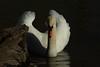 Mute swan (Phiddy1) Tags: bird swan soe mute flickrsbest abigfave platinumphoto ultimateshot theunforgettablepictures rubyphotographer thewonderfulworldofbirds worldclassnaturephotos