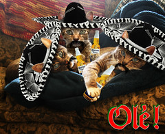 """The Tres Amigos  """"OLE!"""" (Gravityx9) Tags: beer cat photoshop jack ole mexican corona chop sombrero willy cincodemayo amer 0409 041209 kittin whathaveyoudone wpsc catchallenge dcecil805 whydtyc wpcgallery catsarecomical week137 rubyblossom catchallenge77 041109"""