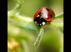 Ladybug hunting (Ellen_Anne (mostly off)) Tags: nature natur insects ladybug soe insekten marienkfer abigfave impressedbeauty macrolife rubyphotographer kunstplatzlinternational vosplusbellesphotos colorsofthesoul sensationalphoto worldsartgallery