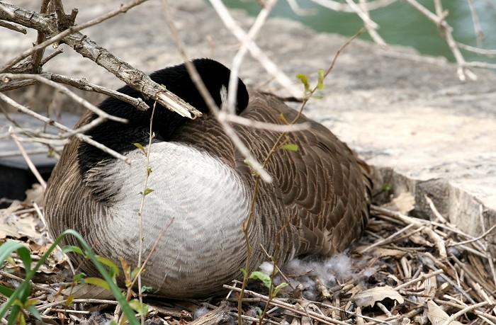 04-16-goose3