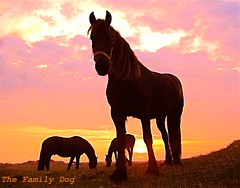 Frisian Horses (The Family Dog) Tags: sunset horses horse silhouette caballo fries paard paarden frisian friese