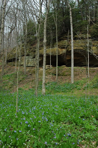 Fields of Virginia bluebells