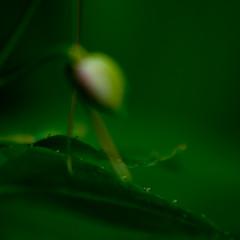 macro (Julia Moreira) Tags: macro verde green nature square bokeh natureza naturallight canoneos20d 2009 bwh bsquare luznatural smoothbokeh beautifulbokeh abigfave juliamoreira nikontocanonlensadapter thelensusedisover30yearsold daddyslens juliamoreira