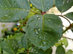 Rain Drops (Omar1191) Tags: plant macro nature water rain closeup nokia leaf drops dew saudi riyadh ksa nseries n85 kingdomofsaudiaeabia