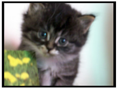SoftFocusSam (OpticalGlee) Tags: cute cat one furry kitten feline soft day softfocus