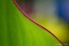 (Lenareh) Tags: red green leaves leaf hit bokeh line lopez quezon pinoykodakero lenareh imagoismthursday imagoism hggt lenarehsgarden macrosamazeme