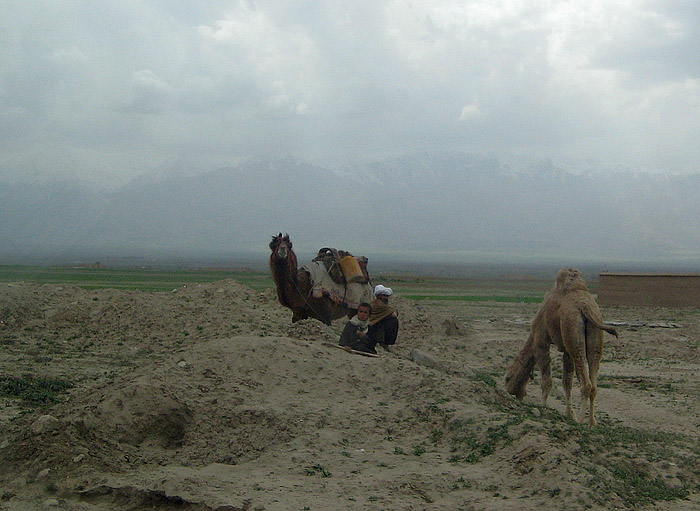 Parwan Camels