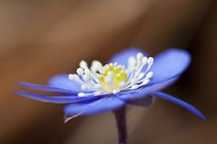 Blåsippa /hepatica (mmoborg) Tags: flower macro closeup sweden blomma sverige thumbsup dalarna hepatica bigmomma blåsippa youvsthebest thepinnaclehof mmoborg mariamoborg