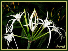 Hymenocallis caribaea (Caribbean Spiderlily, Spider Lily, White Lily) with a blossoming bud, shot April 26 2009
