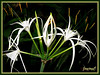 Hymenocallis caribaea (Caribbean Spiderlily, Spider Lily, White Lily)