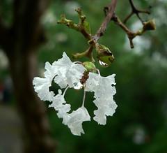cutie (sulphurlee) Tags: autumn white flower water drop memory hangzhou 2008 afterrain rainny