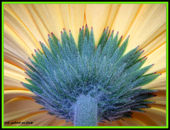 Gerbera calyx