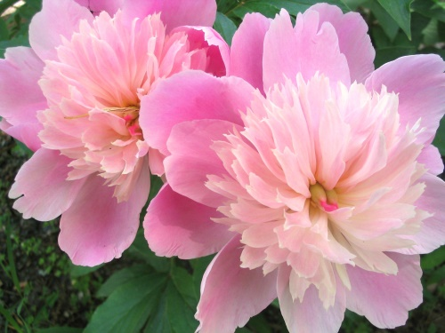 Pink flowers - 4