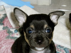 Nemo (cerberus_arstd) Tags: dog chihuahua cute dogs puppy puppies nemo chihuahuas zuzu cujo