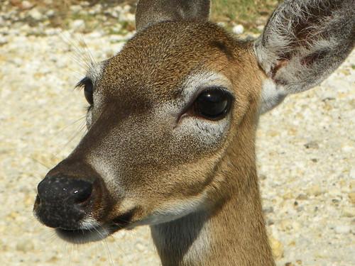 key deer 1
