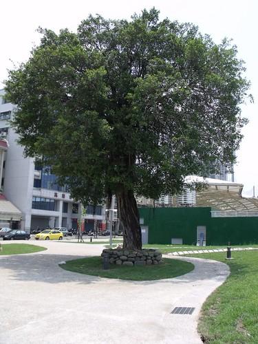 場邊唯一的大樹