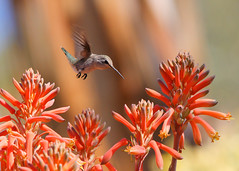 Zooming In (jhaskellus) Tags: arizona bird hummingbird desert superior hummer boycethompsonarboretum bta natureselegantshots jhaskellus jhaskell jackhaskell panoramafotogrfico